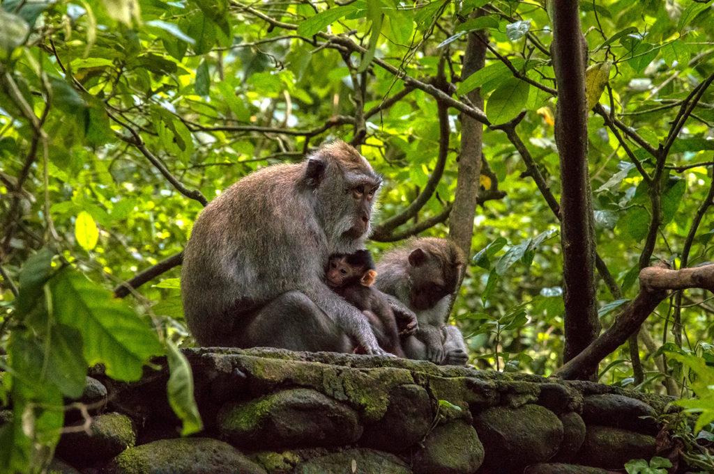 Family monkey indonesia