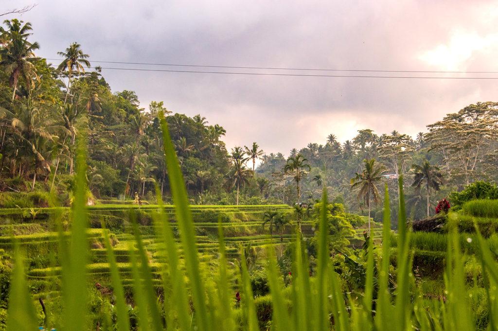 Rice field green landscape
