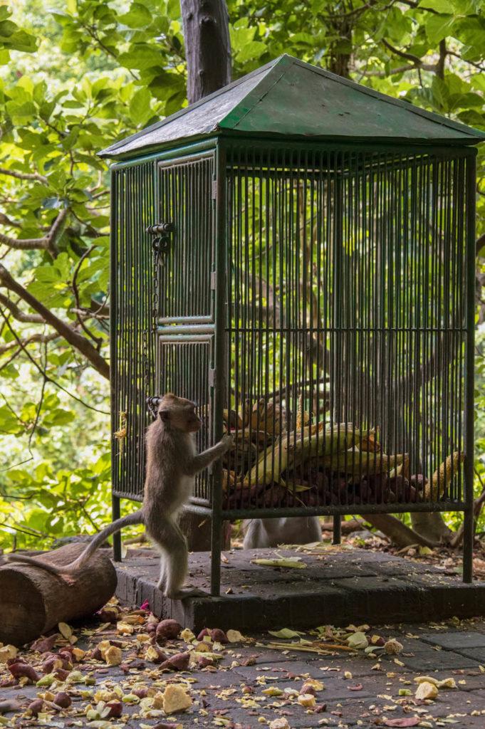 monkey forests ubud bali indonesia