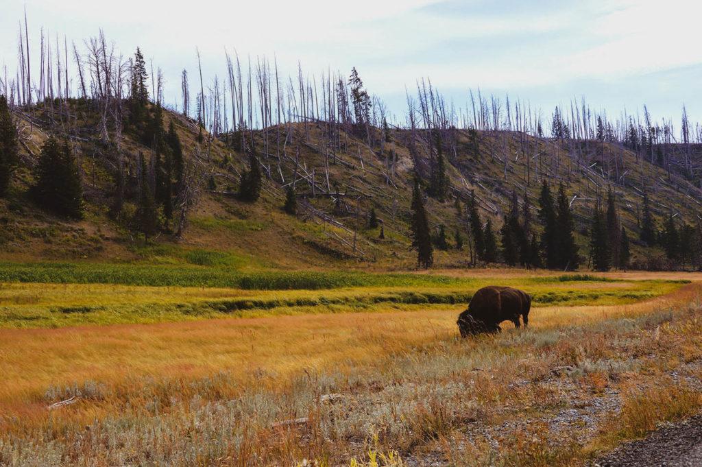 landscape buffalo yellowstone