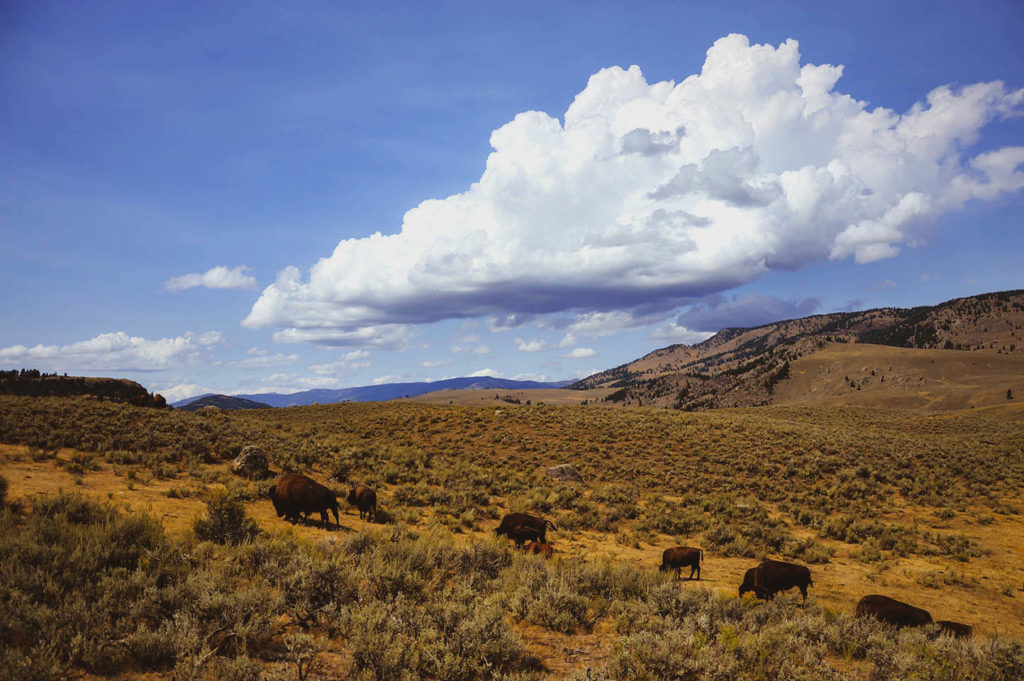 national parks buffalo walking